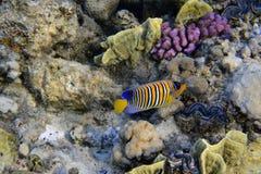 royal angelfish Fotografia Royalty Free
