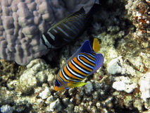 royal angelfish Fotografia Stock