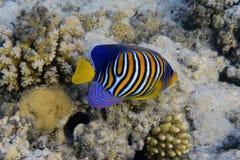 royal angelfish Zdjęcie Stock
