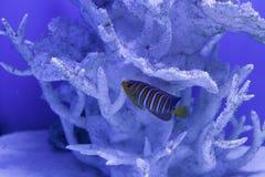 Royal angelfish close up Stock Photos