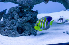 Royal angelfish. A colorful royal angelfish in a oceanic aquarium Stock Photo