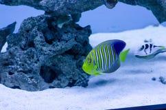 Royal angelfish. A colorful royal angelfish in a oceanic aquarium stock photo