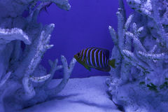 Royal angelfish among corals Stock Photography
