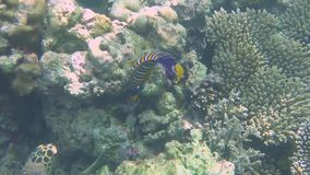 Royal angelfish and a green turtle. A royal angelfish and a green turtle in search of food stock video