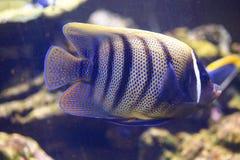 Royal angelfish Royalty Free Stock Images