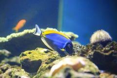 Royal angelfish Royalty Free Stock Image
