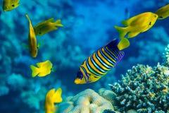 Royal angelfish Stock Photos