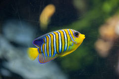 Royal angelfish Pygoplites diacanthus. Stock Photo