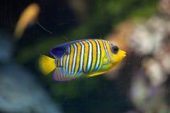 Royal angelfish Pygoplites diacanthus. Royalty Free Stock Image