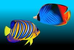 Royal angelfish (Pygoplites diacanthus) Royalty Free Stock Photo