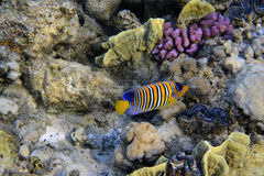 Royal angelfish Royalty Free Stock Photography