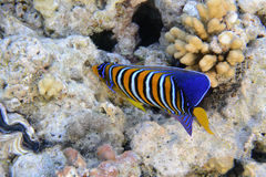 Royal angelfish Stock Photos