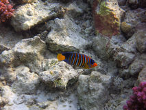Royal angelfish Stock Image