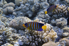 Royal angelfish Stock Images
