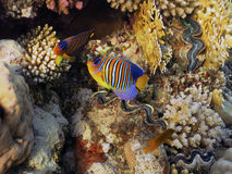 Royal angelfish Royalty Free Stock Image