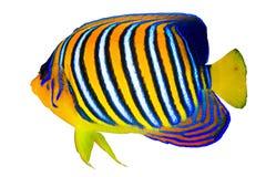 Royal angelfish. (Pygoplites diacanthus) isolated on white background royalty free stock photo