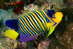 Royal angelfish Royalty Free Stock Photos