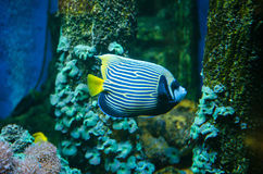 Royal angelfish- Pygoplites diacanthus Royalty Free Stock Photos
