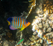 Royal Angelfish. Red Sea Reef Royalty Free Stock Images