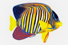 Tropical Royal Angelfish Stock Photo