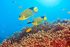 Royal angelfishes Stock Image