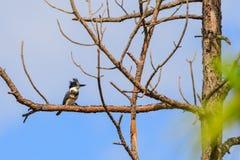 Royal Angler. A Belted Kingfisher at Everglades National Park, Florida, November 2017 stock images