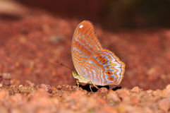 Royal assyrian butterfly. Of thailand background Royalty Free Stock Photos