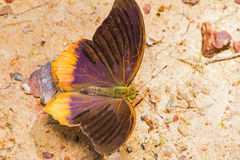 Royal Assyrian butterfly Stock Photos