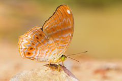 Royal Assyrian butterfly Royalty Free Stock Images