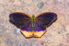 Royal Assyrian butterfly Royalty Free Stock Image