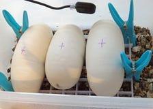 Royal / ball python eggs Stock Photo