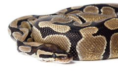 Royal, Ball Python (regius) Royalty Free Stock Images