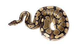 Royal or Ball Python (regius) Stock Photo