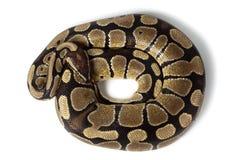 Royal, Ball Python (regius) Stock Image