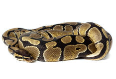 Royal, Ball Python (regius) Stock Photos