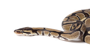 Royal, Ball Python (regius) Royalty Free Stock Image