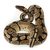 Royal, Ball Python (regius) Royalty Free Stock Photos