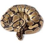 Royal, Ball Python (regius) Stock Images