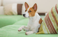 Royal basenji giving its paw Royalty Free Stock Photography