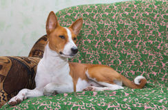 Royal basenji having rest Royalty Free Stock Images