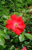 Royal Bassino Roses Stock Photo