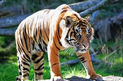 Royal Bengal Tiger. A tiger stalking its prey, fully alert and hungry eyes Stock Photography