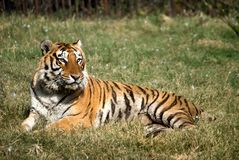 Royal Bengal Tiger. Panthera Tigris ,the bengal tiger is mostly found in some of the tiger reserved forests of india Stock Photo