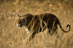 ROYAL BENGAL TIGER. Royalty Free Stock Photo