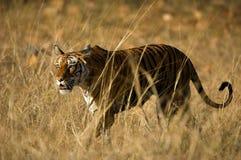 ROYAL BENGAL TIGER. Royalty Free Stock Photo