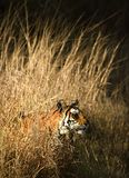 ROYAL BENGAL TIGER. Stock Image