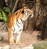 Royal Bengal tiger Royalty Free Stock Photo