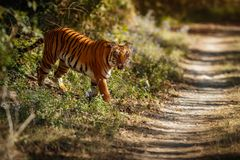 Royal bengal tiger on a beautiful golden background. Amazing tiger in the nature habitat. Wildlife scene with dangerous beast. Hot royalty free stock images