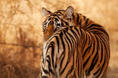 Royal bengal tiger on a beautiful golden background. Amazing tiger in the nature habitat. Wildlife scene with dangerous beast. Hot stock images