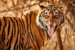Royal bengal tiger on a beautiful golden background. Amazing tiger in the nature habitat. Wildlife scene with dangerous beast. Hot. Weather in wild India Stock Images